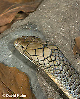 0503-1108  King Cobra (India, Largest Venomous Snake in the World), Detail of Head, Ophiophagus hannah  © David Kuhn/Dwight Kuhn Photography