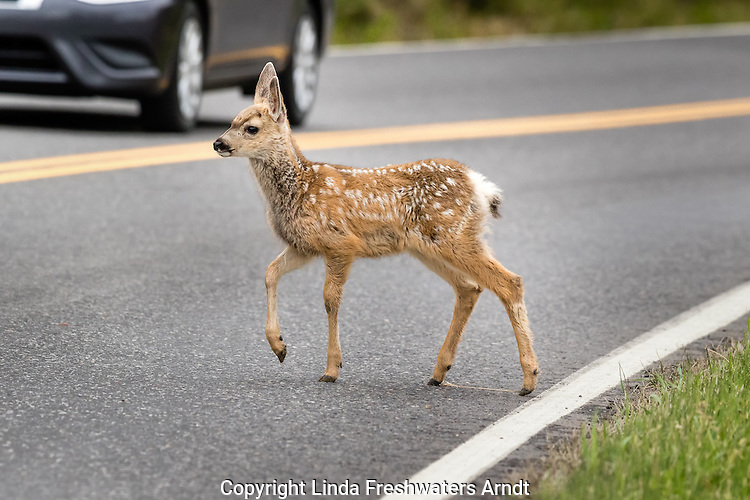 Mule deer fawn crossing the road in Yellowstone National Park