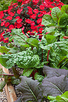 Swiss chard, vegetable mixed with flowers in raised bed at Sakata Seeds