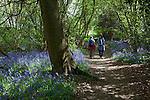 Great Britain, England, Kent, near Edenbridge: Hikers walking through Bluebell wood (Hyacinthoides non-scripta)