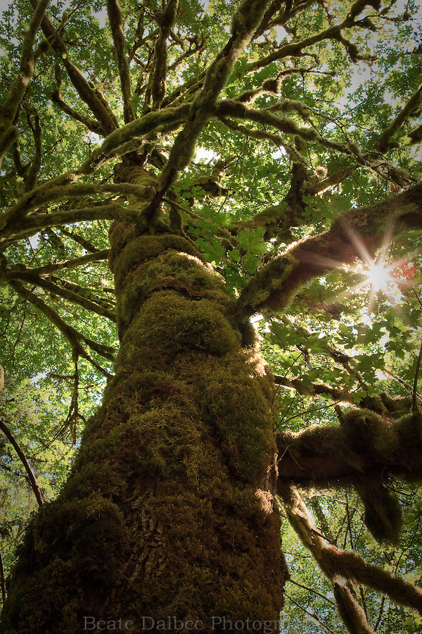 Moss covered tree in the Olympic National Park