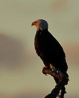 Bald Eagles of Llano, TX