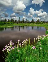Upper Deschutes River with Iris. Deschutes National Forest. Oregon.