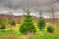 Christmas trees growing, Whitewell, Clitheroe, Lancashire.