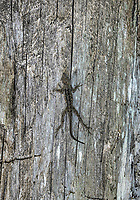 Brown Anole lizard blends with the trunk of a tree.