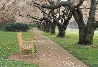 Bench and blossoming cherry trees, University of Washington, Washington.