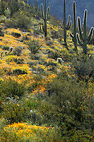Organ Pipe Cactus (Stenocereus thurberi) with Brittlebush (Encelia farinosa) and Mexican Gold Poppies (Eschscholzia californica subsp. mexicana), Organ Pipe Cactus National Monument, Arizona