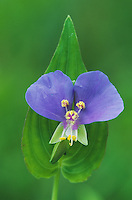 Dayflower, Commelina erecta, blossom, Palmetto State Park, Texas, USA