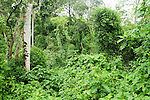 Dense undergrowth in tropical rainforest, Kibale National Park, western Uganda