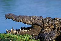 American Crocodile..Southern Florida..(Crosodylus acutus).