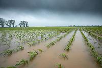 Waterlogged maize follwing heavy rain - Lincolnshire, June