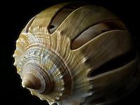 Close up of Sliced Grey Bonnet sea shell.