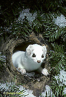 MA05-036x  Short-Tailed Weasel - exploring tree cavity for prey in winter - Mustela erminea