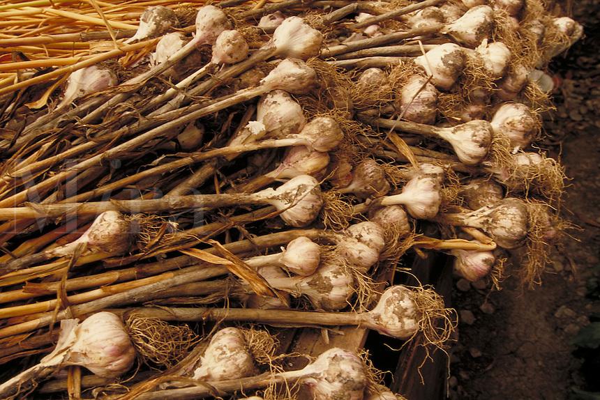 Garlic drying in a garden shed. Garden shed.