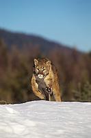 Mountain Lion or cougar (Puma concolor), Western U.S.