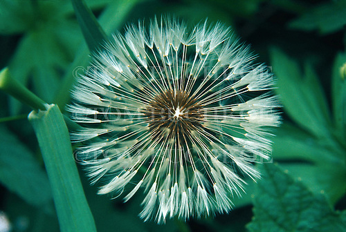 Dandelion, Taraxacum, going to seed in the Upper Peninsula of Michigan.