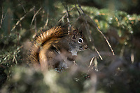 Red Squirrel (Tamiasciurus hudsonicus) in Southcentral Alaska. Photo by James R. Evans