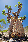 Endemic baobab (Adansonia sp.) with pattern on bark caused by peculiar fungal growth. Andavadoka, west Madagascar.