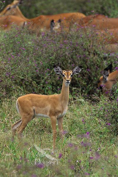 Young Impala (Aepyceros melampus), Tarangire National Park, Tanzania.  June.