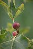 fig at a fig tree<br /> <br /> higo en una higuera<br /> <br /> Feige an Feigenbaum<br /> <br /> bot.: Ficus carica<br /> <br /> 3008 x 2000 px<br /> 150 dpi: 50,94 x 33,87 cm<br /> 300 dpi: 25,47 x 16,93 cm