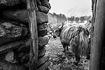 Domestic yak or dzo (Bos grunniens) in Ulley village. Ulley Valley, Himalayas, Ladakh, India.