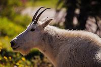 Hey Mountain Goat