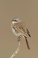 Adult Sage Sparrow (Amphispiza belli) of the widespread subspecies A. b. nevadensis. Douglas County, Washington. April.