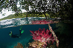 Soft coral in the shallow mangroves with diver, split level.