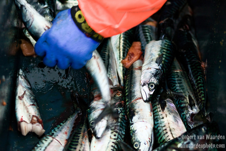 A fisherman grabs a mackerel from the bottom of the case. Mackerel are used as bait fish for lobster traps.