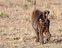 A young olive baboon gets a ride across the Serengeti.