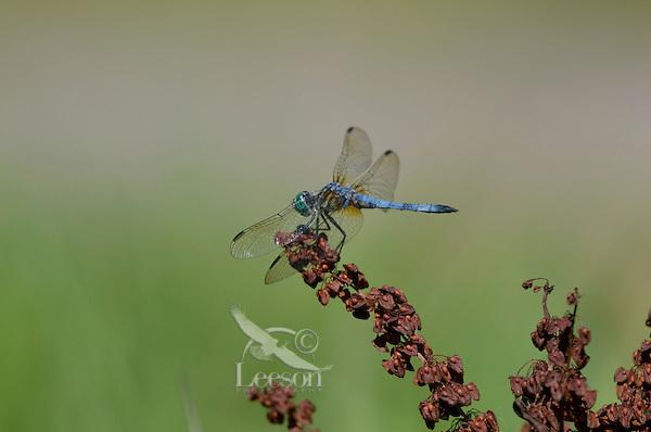 Blue Dasher (Pachydiplax longipennis) male.  Pacific Northwest, summer.