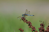 Blue Dasher (Pachydiplax longipennis) male.  Pacific Northwest, summer.