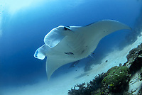 giant oceanic manta ray, Manta alfredi, Raja Ampat, West Papua, Indonesia, Pacific Ocean