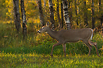 White-tailed doe walking along the forest's edge in northern Wisconsin.