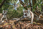 Ring-tailed Lemur (Lemur catta) foraging in leaf litter. Berenty Private Reserve, southern Madagascar.