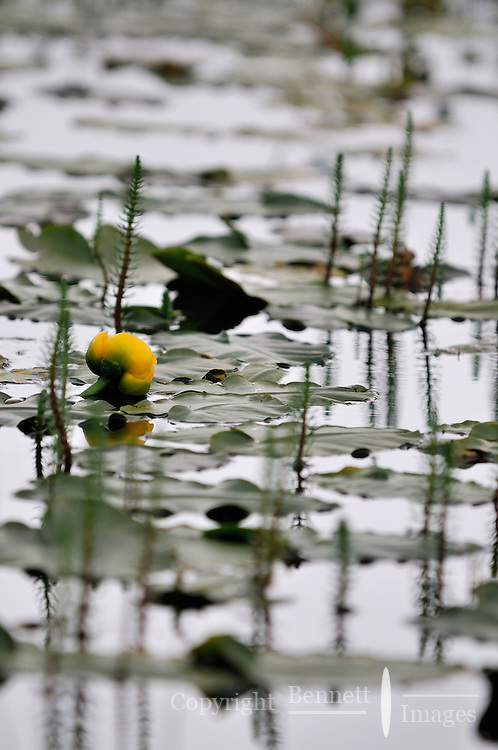 A Water Lilly  in Alaska's McNeil River State Game Sanctuary.
