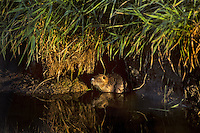 Nutria are an introduced species to the United States from South America.  In the U.S. they cause lots of damage to levies, dikes and road beds.