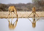 South African giraffe at watering hole, Etosha National Park, Namibia