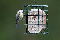 Blaumeise an der Vogelfütterung, Fettfutter, Energieblock, Blau-Meise, Meise, Cyanistes caeruleus, Parus caeruleus, blue tit. Ganzjahresfütterung, Vögel füttern im ganzen Jahr, Vogelfutter der Firma GEVO, Energie-Fettblock