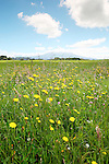 Mt Taranaki and Wild Flowers, New Zealand