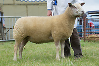 Rutland County Show 2017<br /> Res overall Charollais owned by C R Sercombe<br /> Picture Tim Scrivener 07850 303986<br /> ….covering agriculture in the UK….