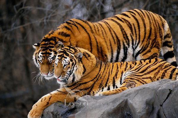 Siberian Tigers (Panthera Tigris Altaica) Endangered Species.