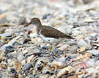 Spotted sandpiper in breeding plumage