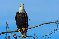 Adult Bald Eagle (Haliaeetus leucocephalus). British Columbia, Canada. January.