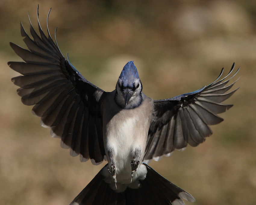 Blue Jay landing on the front edge of your monitor!