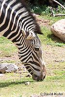 0608-1103  Grevy's Zebra (Imperial Zebra), Grazing on Grass, Equus grevyi  © David Kuhn/Dwight Kuhn Photography