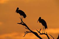 Wood Stork, Mycteria americana,adults at Sunrise, Lake Corpus Christi, Texas, USA