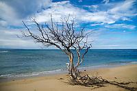 Dead Tree on Beach, Lahaina, Maui, Hawaii, US