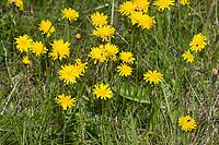 Herbst-Löwenzahn, Herbstlöwenzahn, Herbst-Schuppenlöwenzahn, Scorzoneroides autumnalis, Leontodon autumnalis, autumn hawkbit, fall dandelion, le liondent d'automne, Island, Iceland
