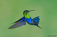 violet-crowned woodnyph Thalurania colombica, male, high-speed flash, bird, costa rica